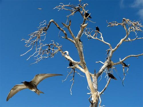 ברקע שחפיות שחורות שמעדיפות לבנות את קניהן בגובה אפילו על ענפי העצים שגוועו עקב עליית פני הים. מקדימה שחפית כהה צעירה פורשת כנף. צילום: טניה רמניק ואורן טל