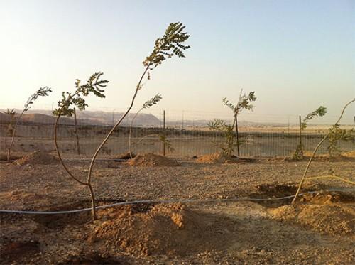 צמחי לבונה בחוות האפרסמון. צילום: גיא ארליך