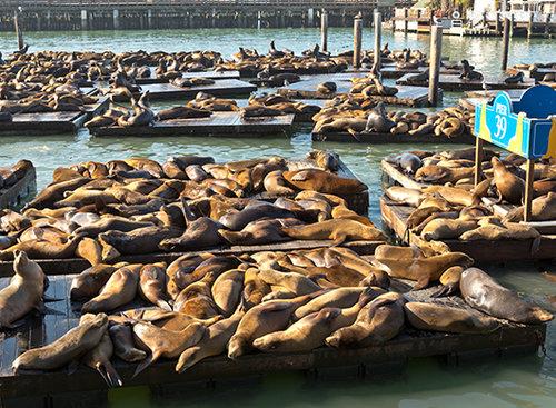 כלבי ים ברציף 39 | צילום: shutterstock