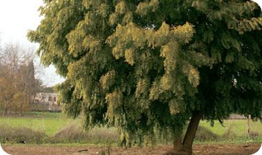 נים. עץ בעל יכולות ריפוי והדברה